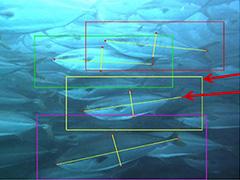 水中カメラの映像からAIで養殖魚の体長や体重を自動測定 測定工数を6分の1に――ニッスイとNECが共同開発