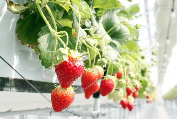 宮城・山元町で栽培されている「ミガキイチゴ」。この商品ブランドのイチゴが今、国内外から注目を集めている。その理由とは……