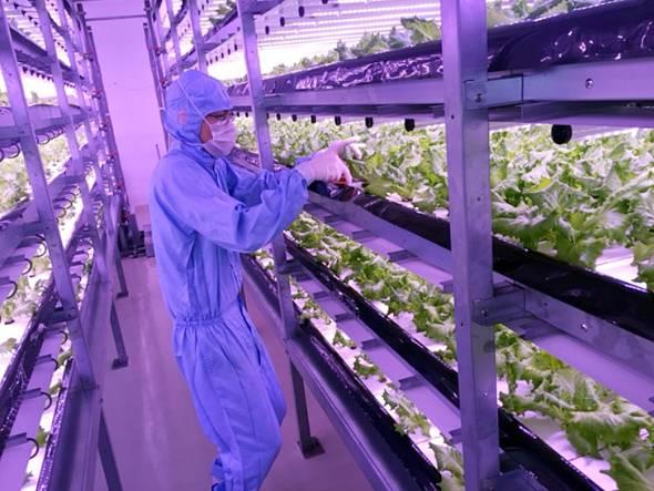 植物工場で栽培されている葉野菜