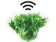 沖縄の葉野菜不足を解消できるか? 沖縄セルラー子会社が目指すもの
