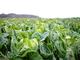 衛星画像データ解析で野菜の収穫量を予測——JAXAベンチャー企業が実現