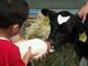 """オフィス街""""丸の内""""で子牛と触れ合う——牧場の食といのち展"""
