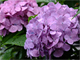 今日から始めるデジカメ撮影術:第117回 初夏の花と雨の関係