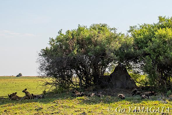 自然写真撮影紀 リカオン