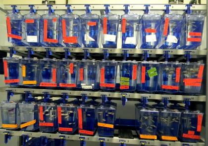 図13 研究室で飼育されているゼブラフィッシュ