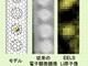 産総研、軽元素を原子レベルで可視化