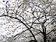景気探検:日本の景気好転、靖国神社の桜がいち早く伝えていた