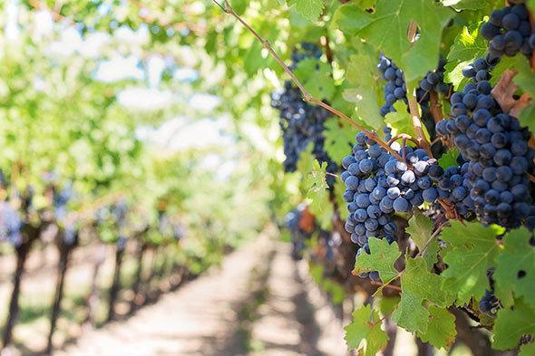 ワインで使用されるブドウの品種は実にさまざま