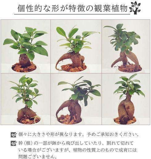 花のギフト社「ガジュマルの木」