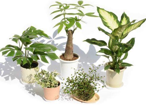 パキラと観葉植物専門店Marubun「観葉植物お試し5鉢セット」