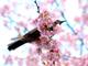 今日から始めるデジカメ撮影術:第93回 春の花と桜と名前の関係
