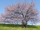 今日から始めるデジカメ撮影術:第126回 桜の花と色合いの関係