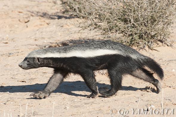 サバンナの最恐動物、ラーテル -...