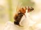 ミツバチ失踪で農業生産が停止?——アインシュタインの危惧は現実になるか