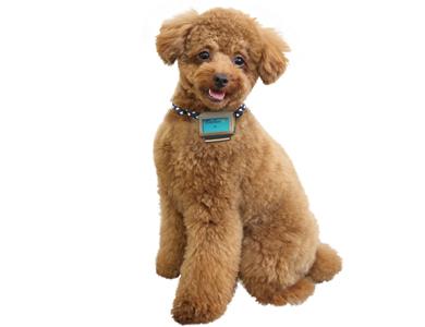 愛犬用歩数計「わんダント」を装着している様子