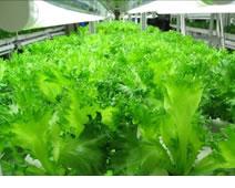 低カリウム植物工場の様子