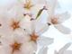 桜の花の落ちるスピード「秒速5センチメートル」は正しいのか?