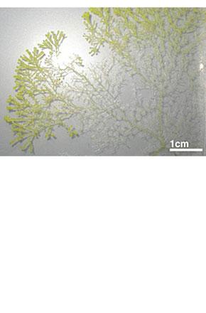 図1 粘菌