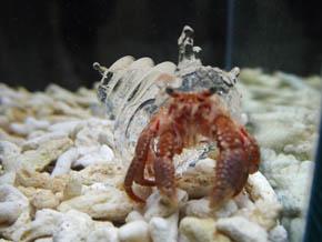 3Dプリントした宿貝に住むヤドカリ/
