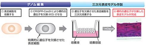 表皮細胞におけるゲノム編集と3次元表皮モデル作製の流れ