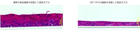 各表皮モデルの厚みの比較
