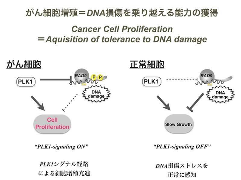 がん細胞の増殖は二刀流、増殖を遅くする敵を倒しながら増える