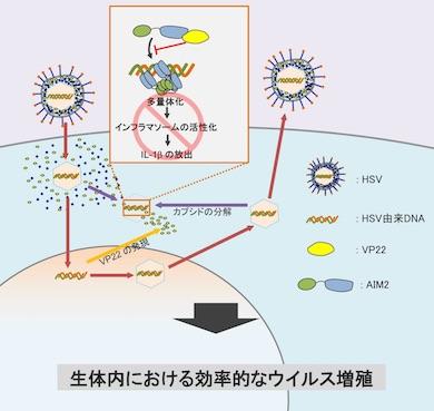 photo(1)HSVが細胞に感染すると、VP22が細胞内に誘導される(2)HSVのDNA遺伝子はウイルスのカプシドに内包されているが、宿主のユビキチン/プロテアソーム経路でカプシドが分解されると、HSVのDNA遺伝子は細胞質に放出されてAIM2に認識される(3)VP22はAIM2と結合し、その多量体化を抑制することによって、インフラマソームの活性化およびそれに伴うIL-1βやIL18の放出を阻害。これにより、HSVは生体内で効率的にウイルス増殖を行える(クリックで拡大) 出典:東京大学