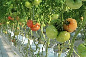 実験の対象となるトマト「桃太郎」