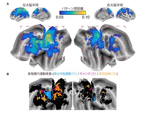 系列運動の脳内運動情報地図 出典:情報通信研究機構