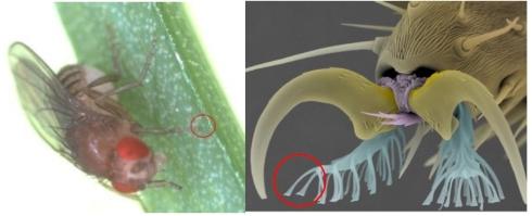 ハエの脚裏の接着構造
