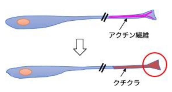 「ハエ型」の接着構造の形成メカニズム