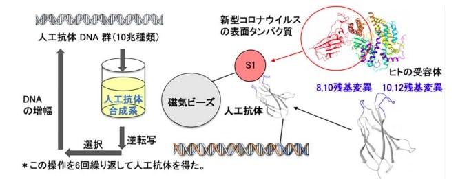 新型コロナウイルスを捕捉、不活性化する人工抗体を4日間で作製:医療 ...