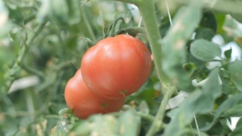 「アジアモンスーンモデル植物工場システム」で栽培したトマト