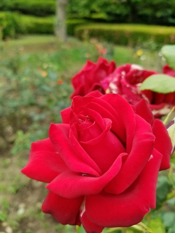 Galaxy S7 edgeで撮影した赤いバラ