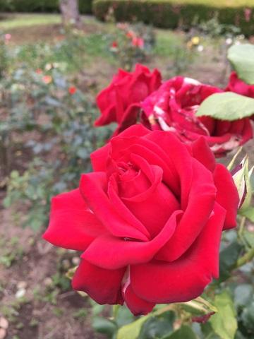 iPhone 6s Plusで撮影した赤いバラ