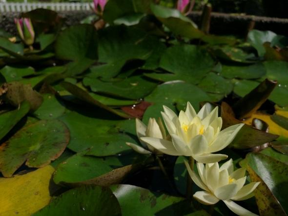 池に浮かぶ花