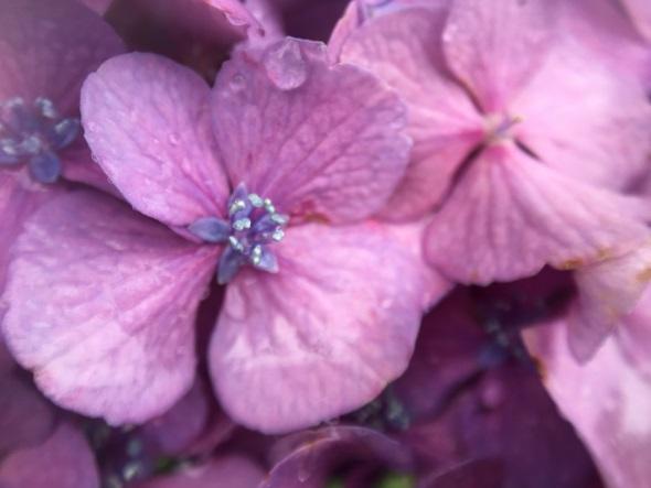 ハルスコープを貼り付けて撮った花(その1)
