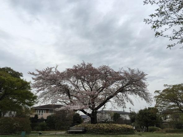 曇りの日に撮った桜