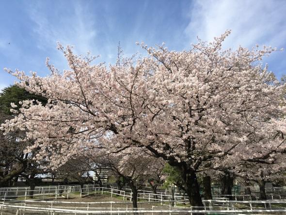 晴天のもと撮影した桜