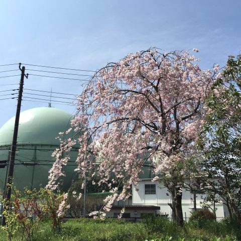 しだれ桜とガスタンク