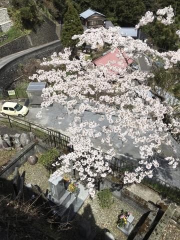 崖の上で撮った大きな桜