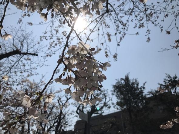 普通に寄って撮った桜