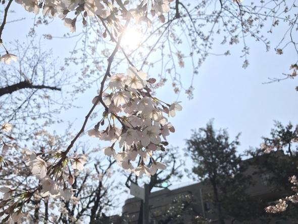 花びらにフォーカスを合わせて撮った桜