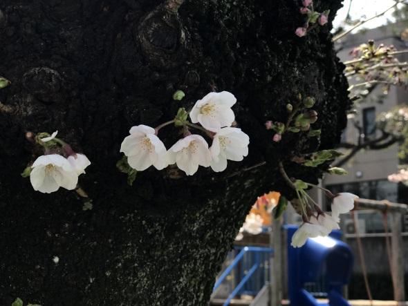 幹に直接咲いた桜の花