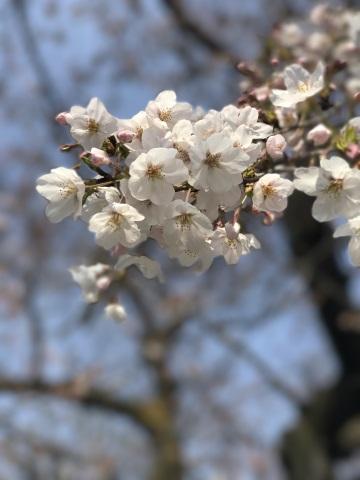 ポートレートモードで撮った桜の花