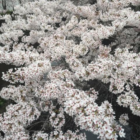 一面の桜の花