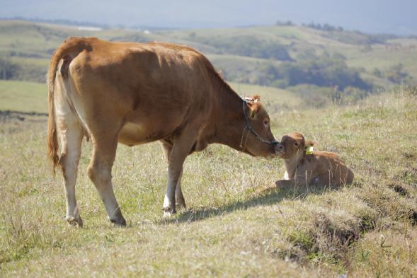 あか毛和牛の親子