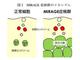 慶応大、難病の原因となる未知の遺伝子疾患「MIRAGE症候群」を発見