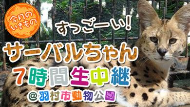 サーバルちゃん7時間生中継@羽村市動物公園」。「けものフレンズ」の主要キャラクター「サーバル」にちなんだサーバルキャットの様子を生中継する。