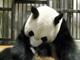 上野のパンダ赤ちゃん 肺炎で死亡 生後7日目
